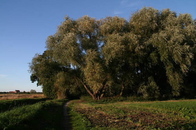 Willows along the western edge of Howden Marsh Local Nature Reserve