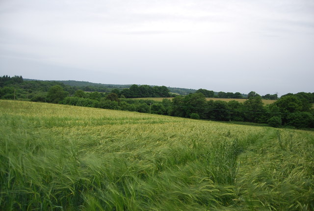 Barley in the Medway Valley