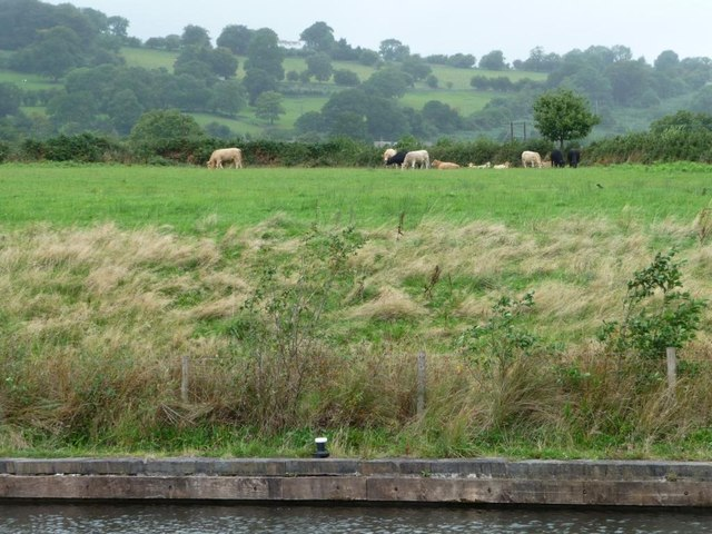 Cattle alongside South Sebastopol moorings