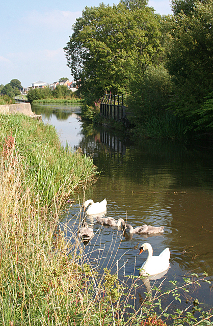 Swans on the Canal