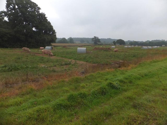 A field of pigs west of Brampford Speke
