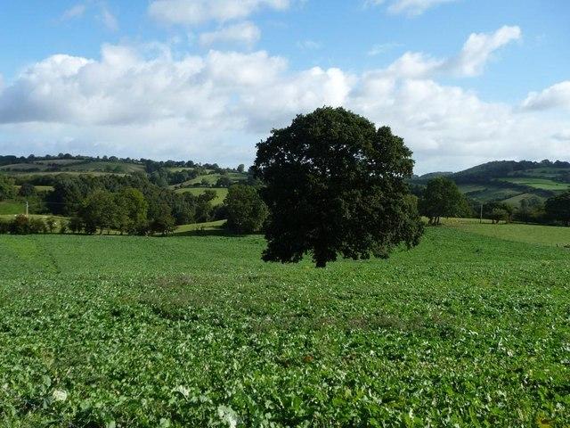 Tree in an arable field, south of Granary Farm