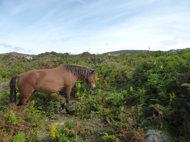 Wild ponies above Bosigran