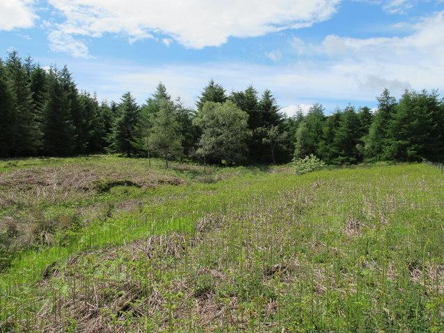 Plantation around Coal Burn west of South Yardhope