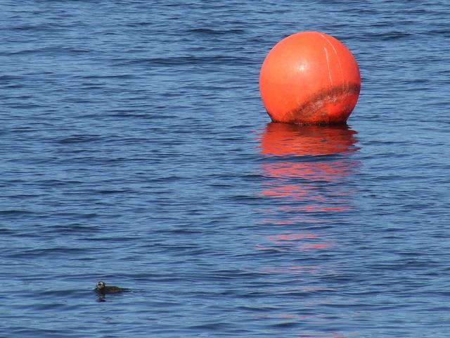 Duckling off Kip Marina