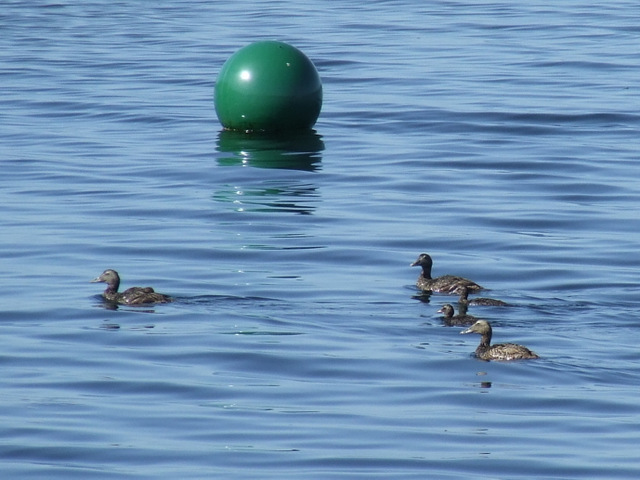 Ducks off Kip Marina
