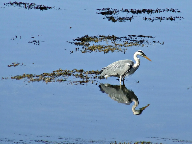 Grey Heron at Kip Marina