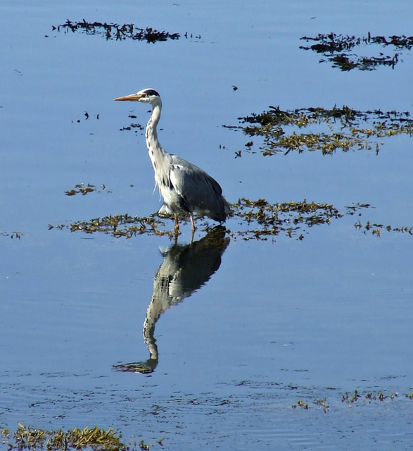 Grey Heron at Kip Marina