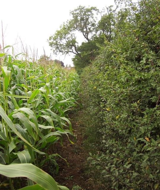 Maize and hedge near Brooke's Hall