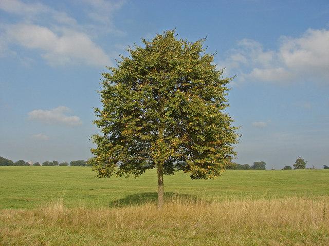 Poplar tree, Windsor Great Park