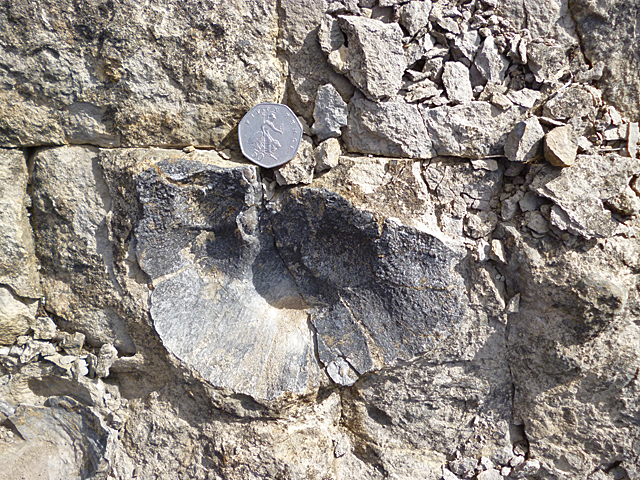 Productus Fossil
