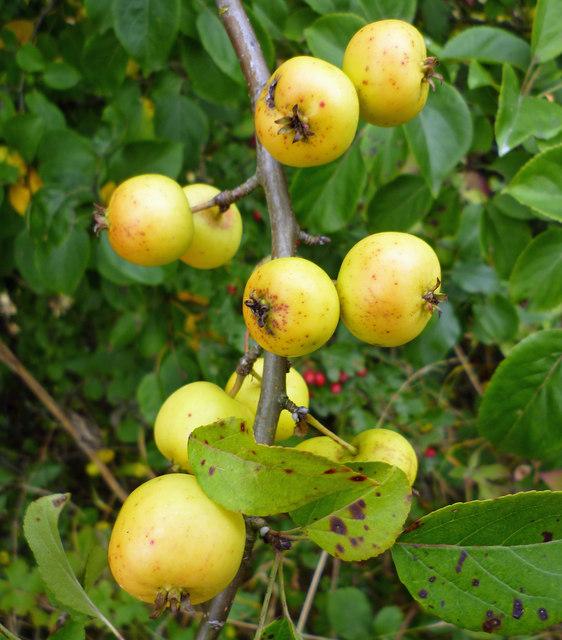 Hedgerow Crab Apples near Melton Ross
