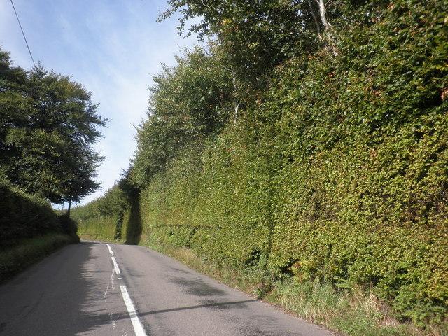 Beech 'Wall', near Cuthorne