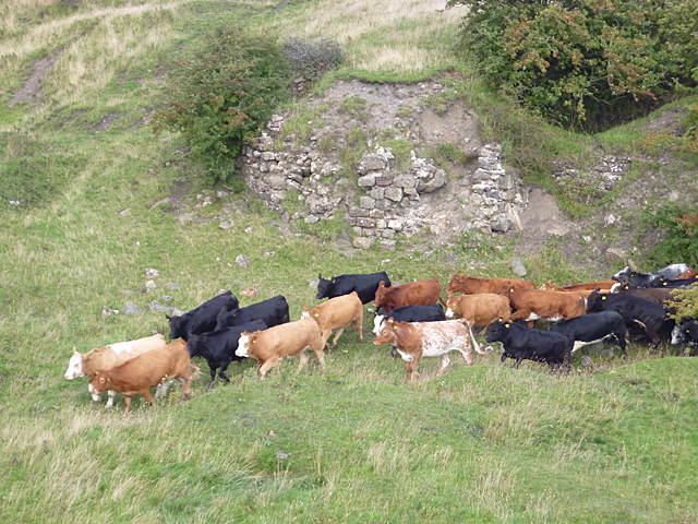 Cattle on a Mission
