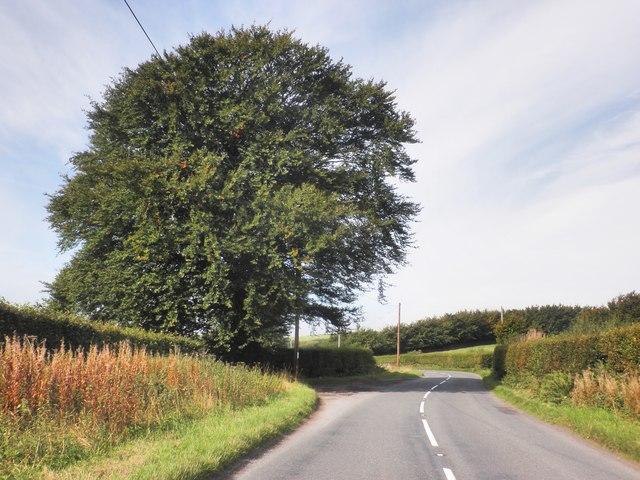 Isolated beech tree on the B3224