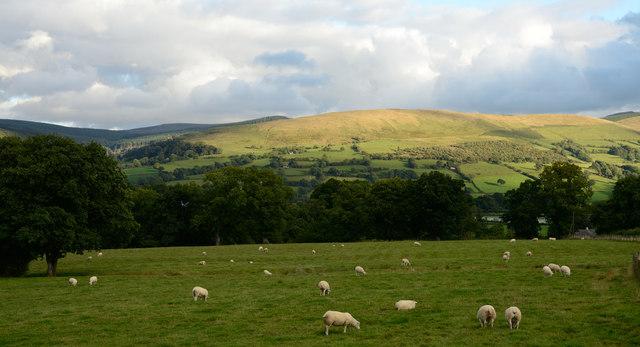 Field with sheep near Plas Madog
