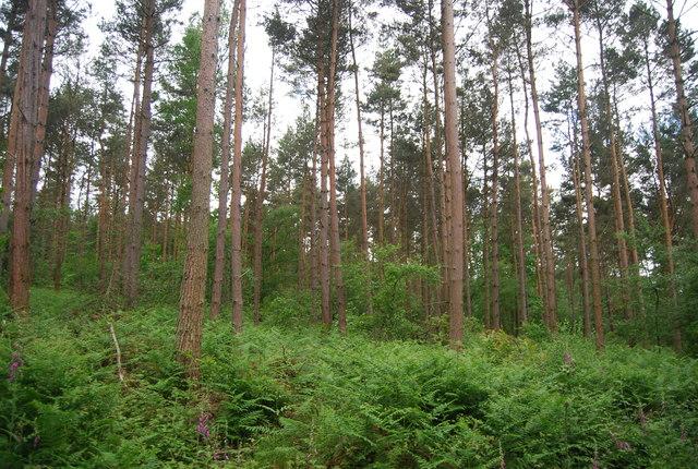 Conifers, Leggett's Wood