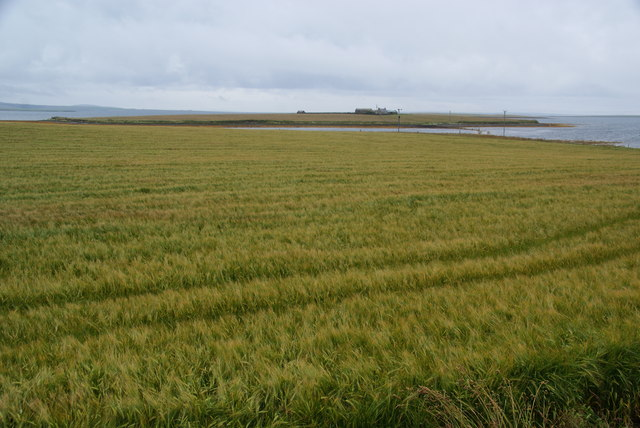 Barley field by Holm Point
