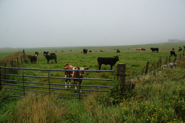 Cows near Inganess