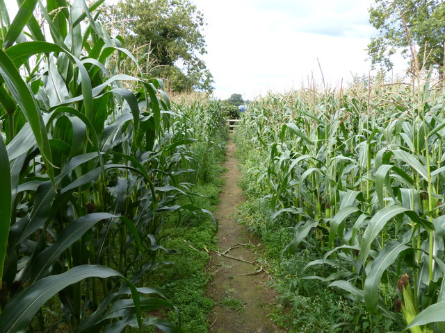 Footpath through a field of maize