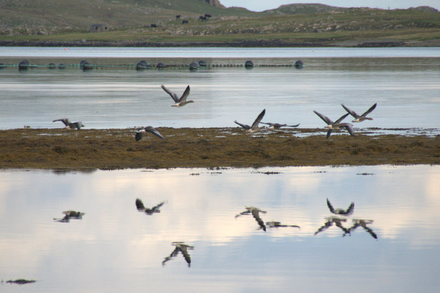 Greylag Geese over the voe at Baltasound