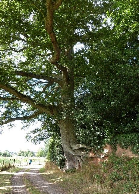 Exposed tree roots, Powderham Castle estate