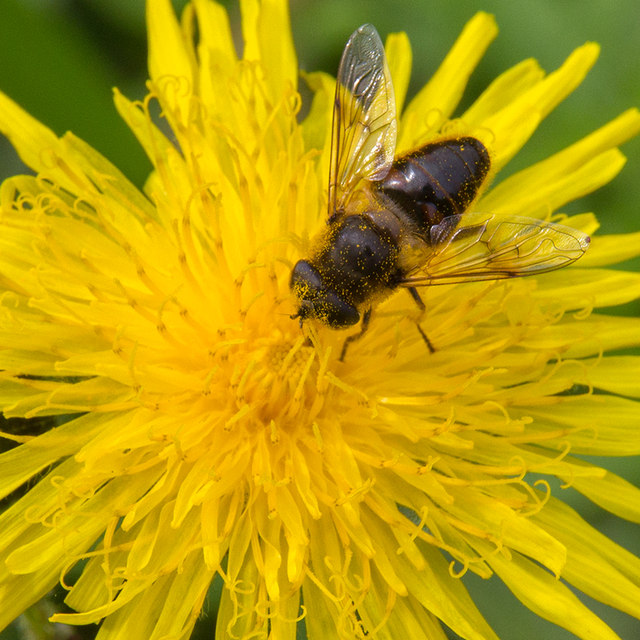 Hoverfly on sow thistle