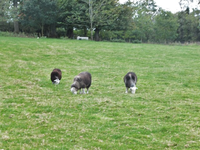 Herdwick sheep at Thornton