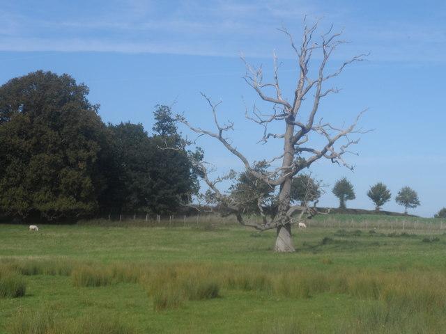 Derwen wedi'i tharo gan fellt / An oak struck by lightning