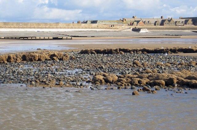 Petrified tree stumps on the beach