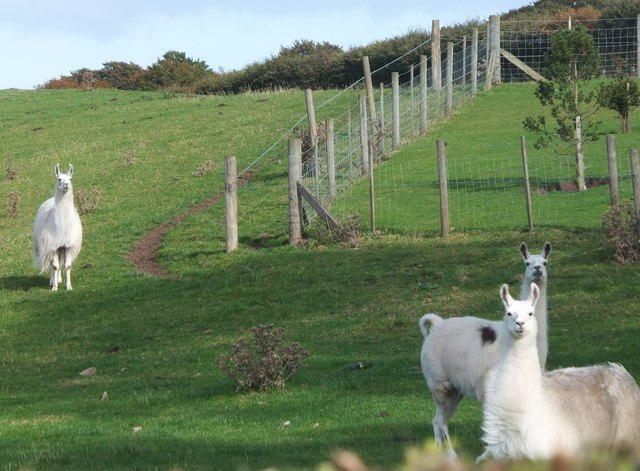 Llamas at Longridge