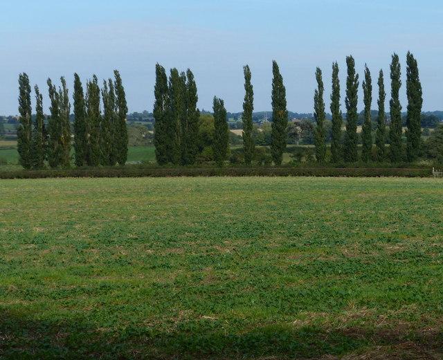 Row of poplar trees near Kilby