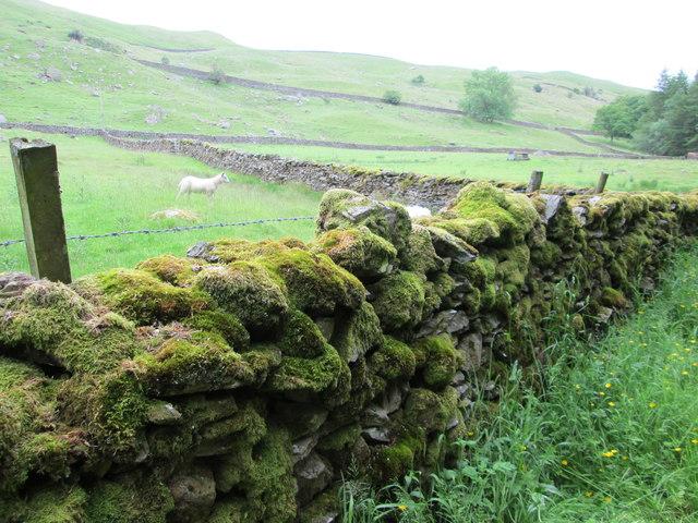 Mossy dry stone wall near to Birk Field