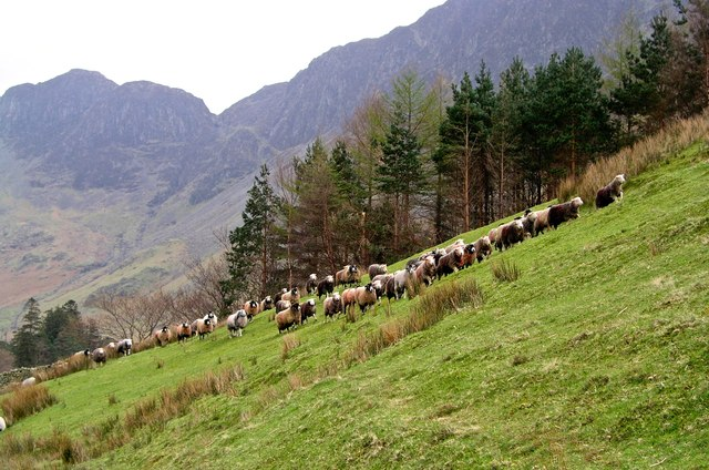 Hefted Hardwick's returning to the high fells below High Crag Buttermere