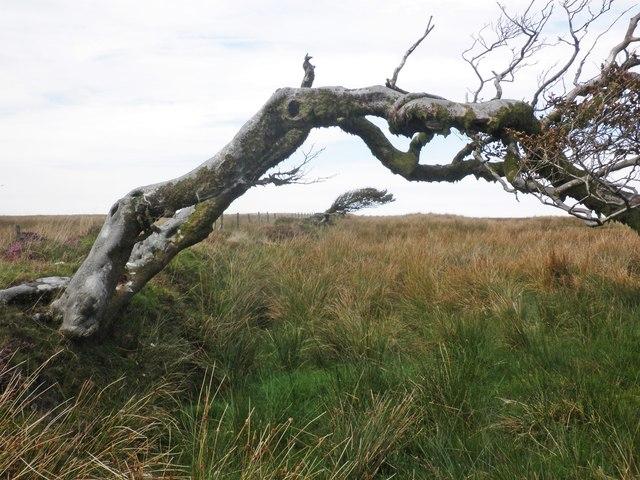 Wind-bent tree overhangs the Tarka Trail