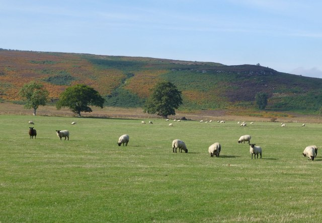Sheep in pasture beside Eglingham Burn