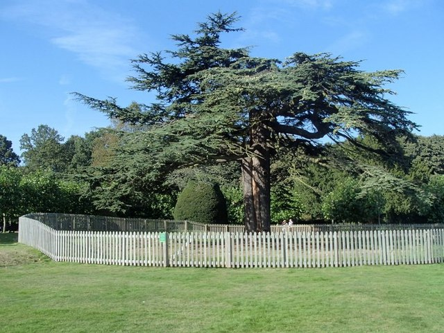 Cedar of Lebanon in the grounds of Rufford Abbey