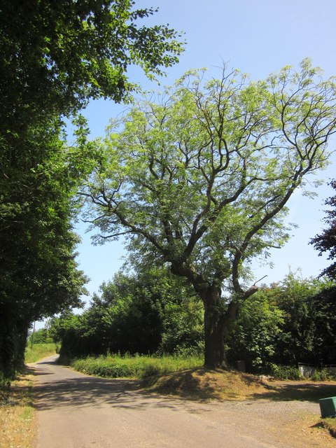 Ash tree, Drayford Road