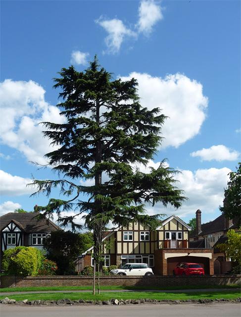 Conifer, Beckenham Place Park