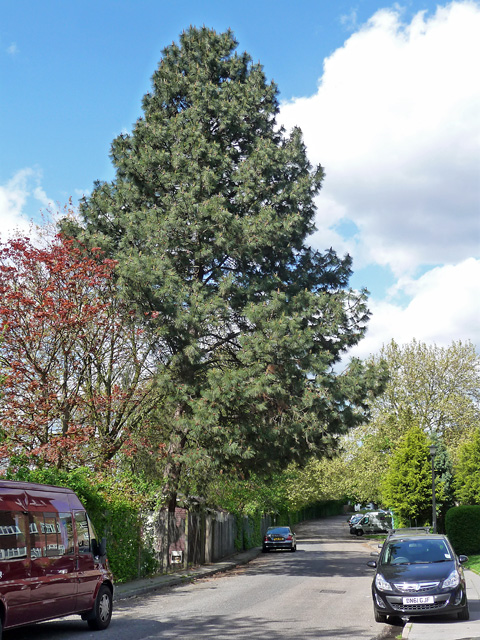 Pine, Abbey Lane