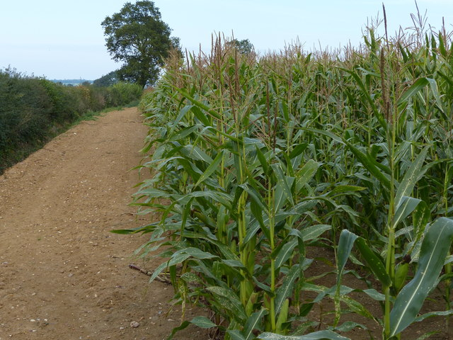 Bridleway along the edge of a field of maize