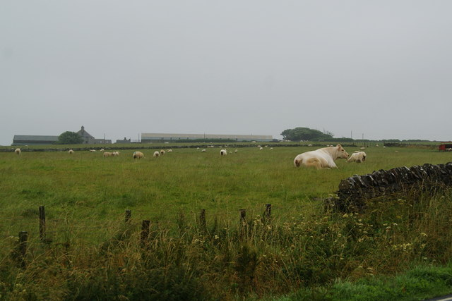 Cows and sheep near Wideford Farm