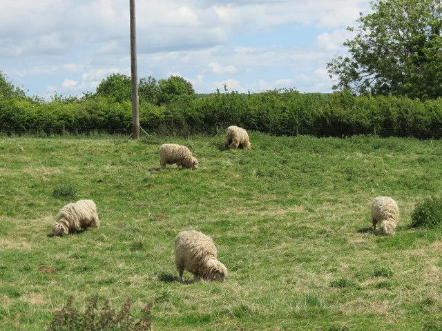 Lincoln  Longwool  Sheep  Woolsthorpe  Manor