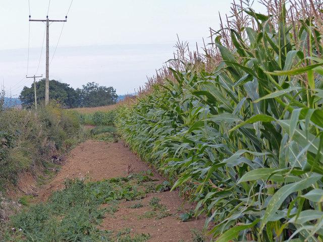 Bridleway in a field of maize