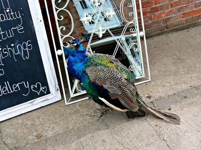 Peacock, Hatton Country World, Warwick