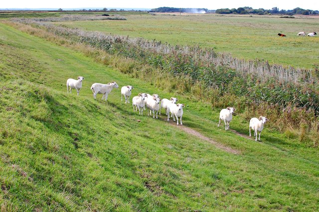 Sheep grazing the seawall by Mill Farm Marshes