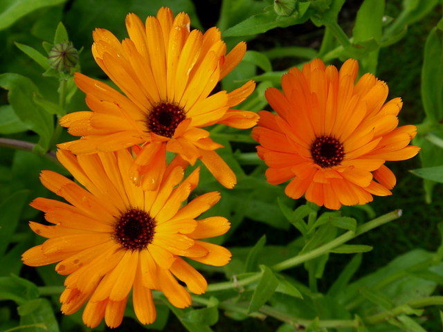Calendula officinalis; Pot or English Marigold