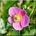 SO6424 : Japanese Anemone, Anemone hupehensis : Week 39