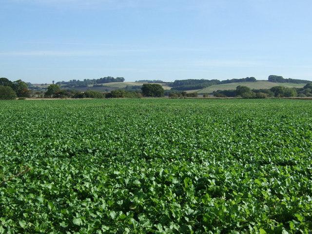 Crop field east of North Willingham
