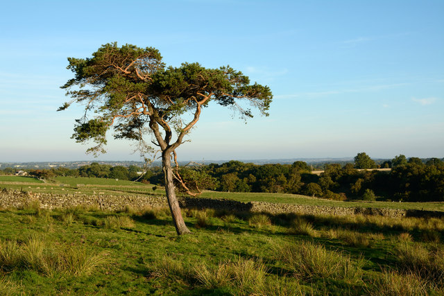Scots pine at edge of moorland